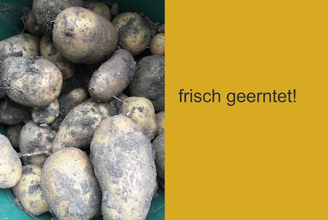 Kartoffeln frisch geerntet