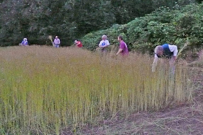 teamwork at the Victoria flax to linen harvest