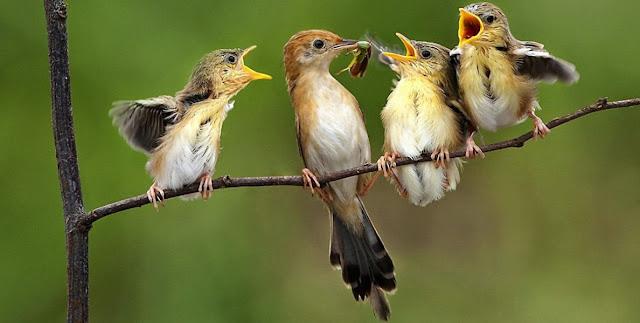 Cuidado de la prole en las aves