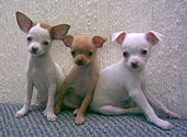 Chihuahua dog puppies