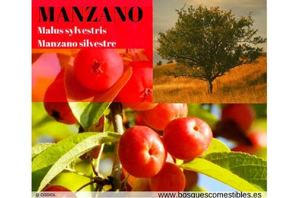 Manzano Silvestre, Malus sylvestri, es un pequeño árbol con frutos comestibles y medicinales.