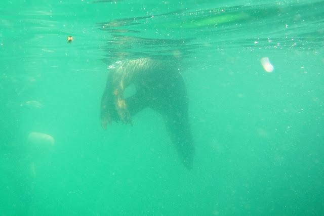 Snorkeling Sea Lions Floreana