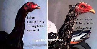 Bentuk leher ayam bangkok lurus atau bengkok