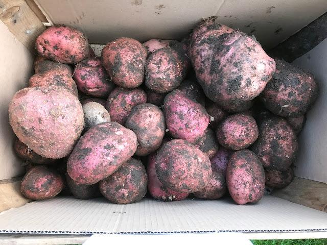 Kartoffeln der Sorte Setanta (c) by Joachim Wenk