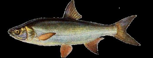 Виды речных и озерных рыб (Жерех)
