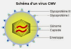 infection à (virus) CMV :définition,Prévention,cause ...