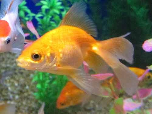 Ripley's Aquarium (Goldfish)