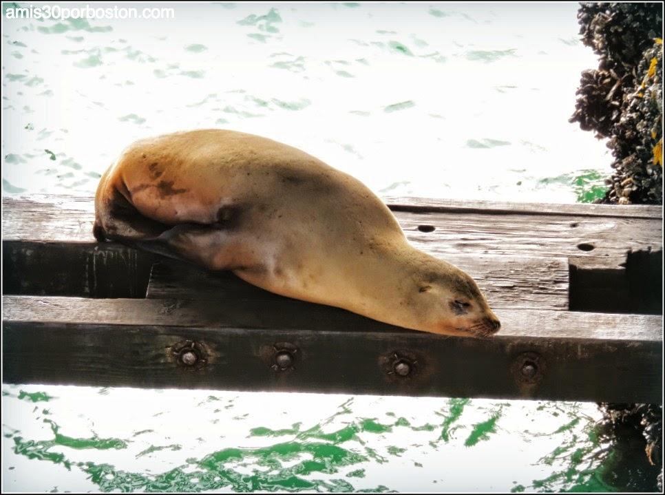 Santa Cruz Wharf: Leones Marinos