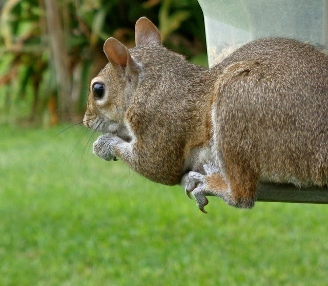 Squirrel, Shyster, Birdfeeder, ©Colleen M. Dougher, The Invisible Fly