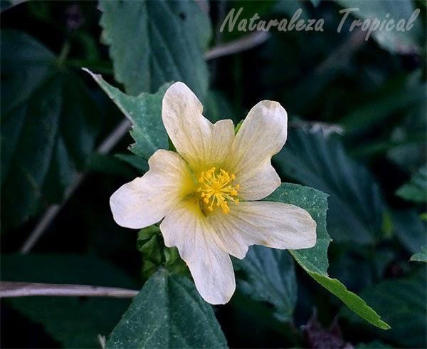 La flor escubilla (Sida rhombifolia), maleza