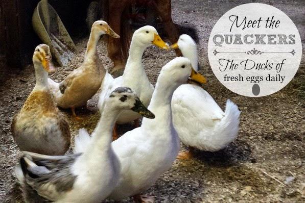 Meet the Quackers - The Ducks of Fresh Eggs Daily | Fresh Eggs Daily®
