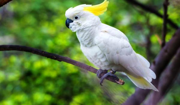 harga burung kakatua jambul kuning