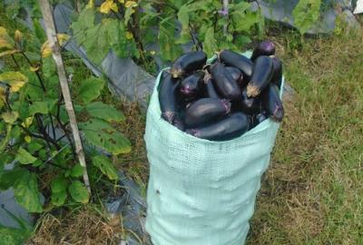 Pemanenan Terong Organik
