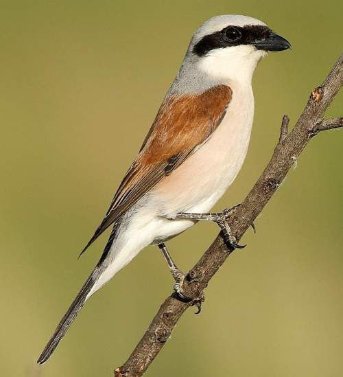 Indian birds - Image of Red-backed shrike - Lanius collurio