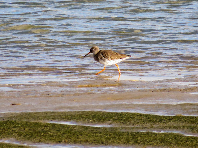 Rogerstown Estuary bird watching: Redshank viewed from Turvey Hide