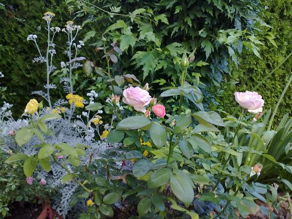 Plantas para acompa ar a los rosales guia de jardin for Guia de plantas de jardin