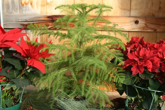 The Flower Bin: Norfolk Island Pine Trees