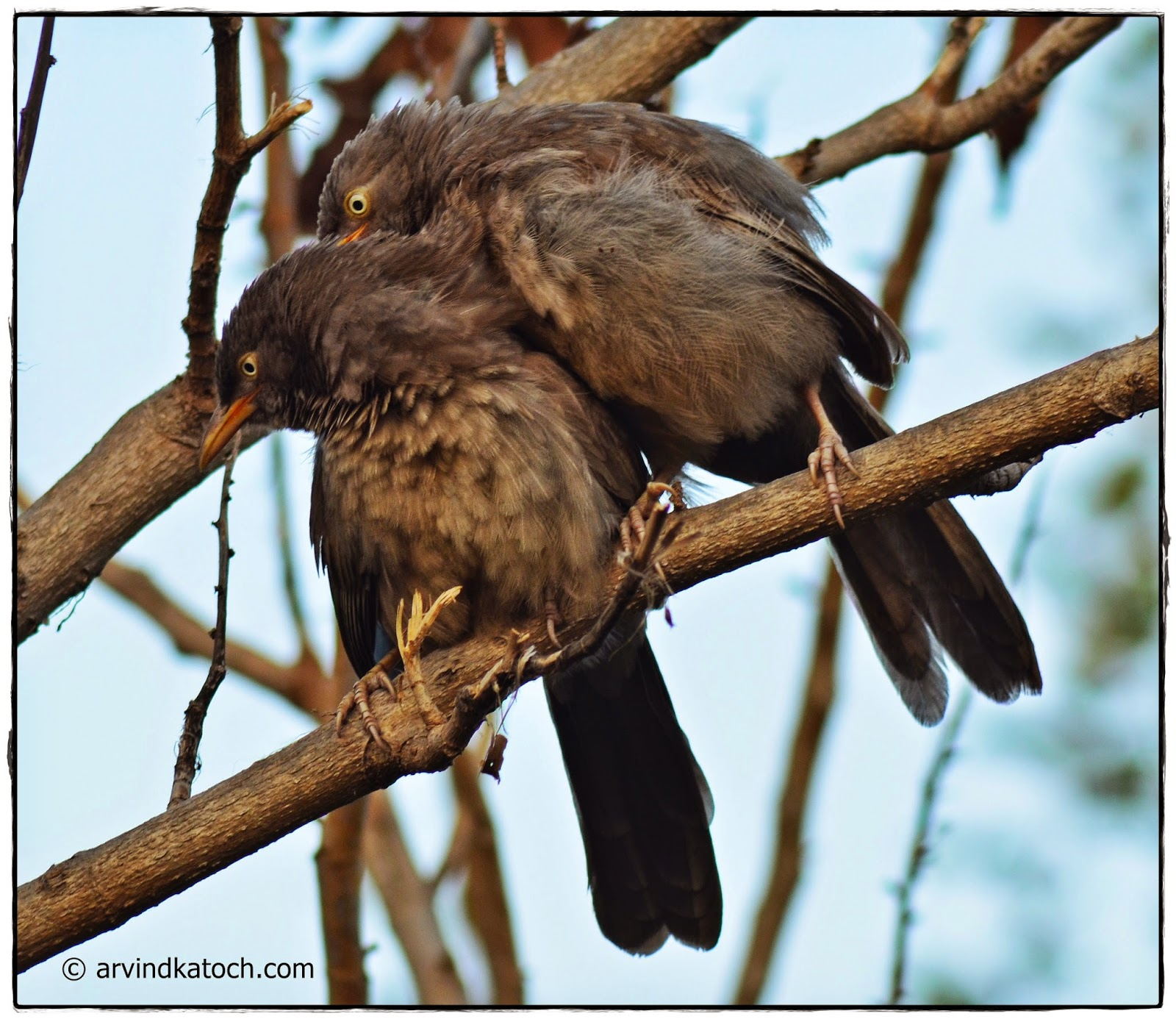 Jungle Babblers, Baby Jungle Babblers