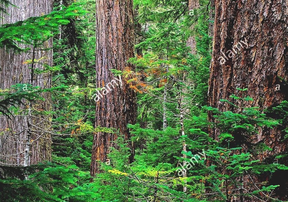 Douglas Fir - Douglas Fir Forest  Douglas Fir Forest