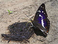purple emperor british insects
