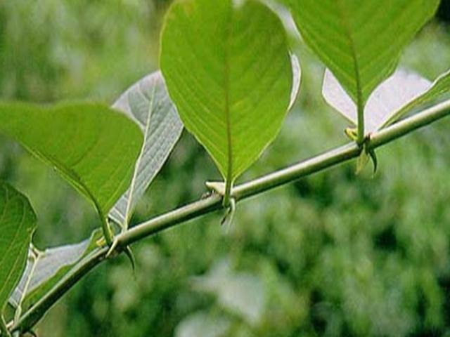 Las Plantas para la Salud: Uncaria tomentosa (Uña de Gato). Acción ...