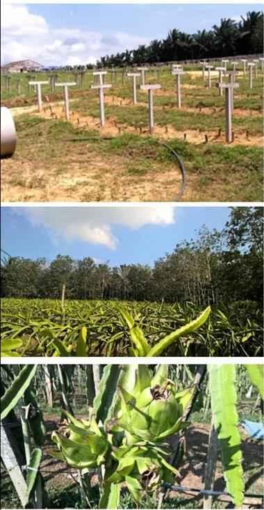 Golden farm plantation at Ulu Tiram