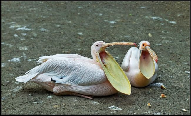Funny Pelican Photos | Funny Animals