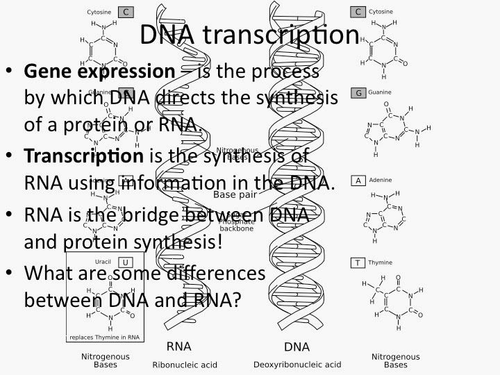 Mr. Maxey's Biology Blog: New Notes on DNA REPLICATION