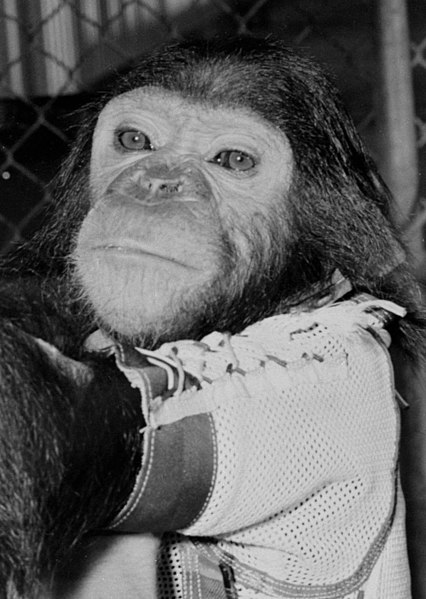 Enos, the first chimpanzee to orbit the earth