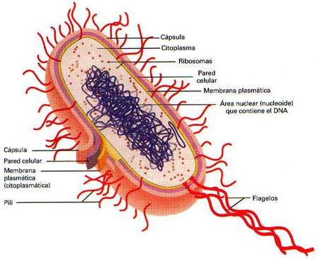 parásitos bacterianos espirales heterotróficos