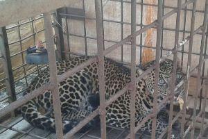 Macan Tutul Tertangkap Di Ciamis