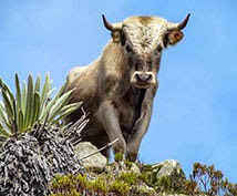 https://pixabay.com/photos/charolais-bull-cattle-sky-animal-109132/