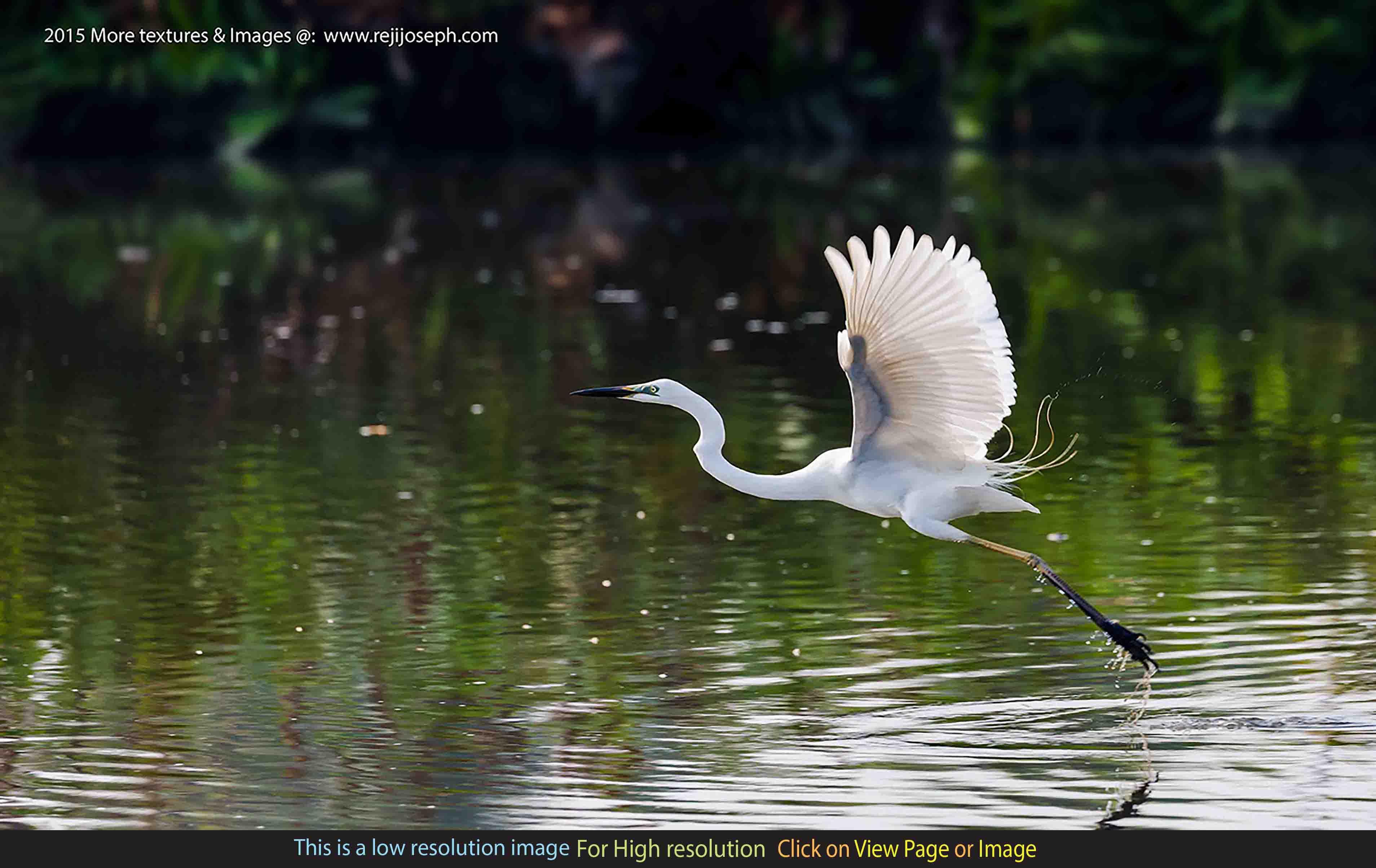 Flying Snowy Egret bird 00003