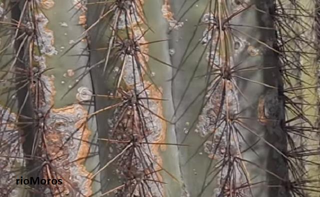 Espinas de CACTUS COLUMNAR Pachycereus pringlei