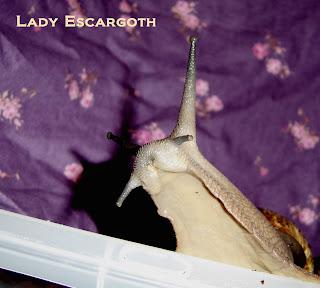 escargot achatine