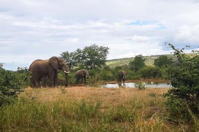 African Elephant (Loxodonta africana) drinking