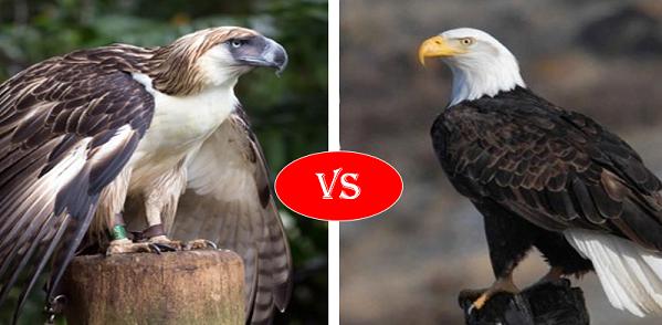 Philippine Eagle vs Bald Eagle