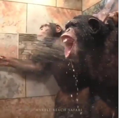 Two Chimpanzees Seen Taking A Shower As Got People Talking