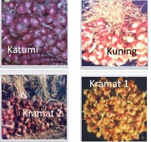jenis bibit bawang deptan varietas unggul