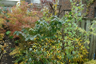 Rudbeckia and doublefile viburnum in autumn by garden muses: a Toronto gardening blog