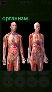 организм женщины и мужчины схематически показан