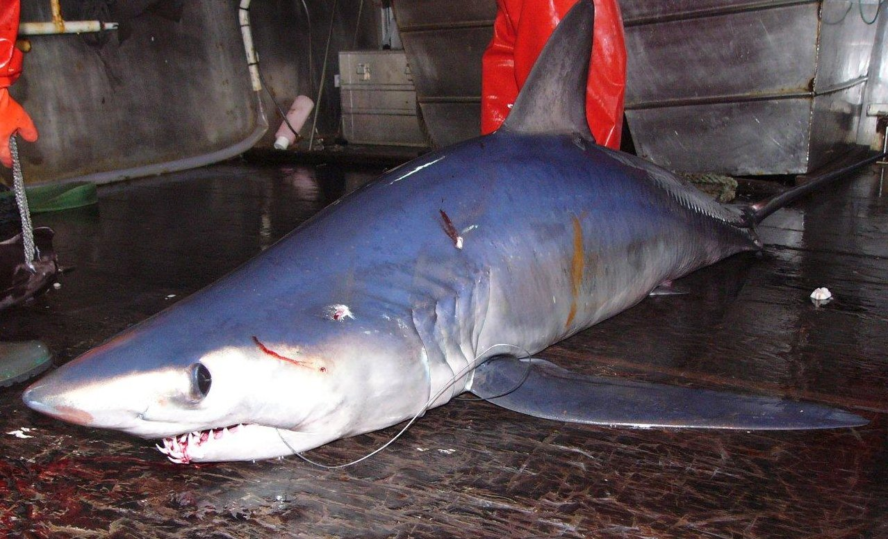 Tiburones en Galicia: Marrajo negro (Isurus paucus)