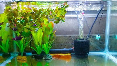Simple and easy aquarium setup for breeding red cherry shrimp