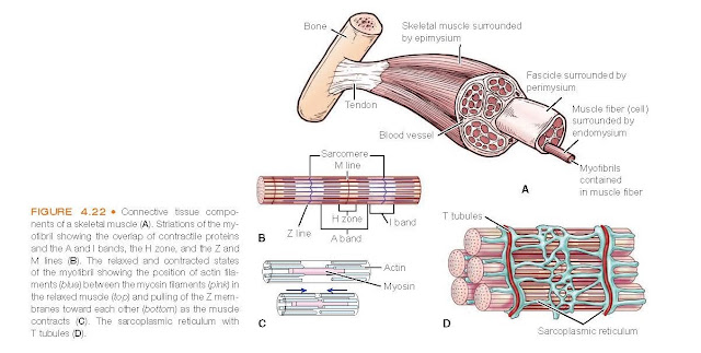 Connective tissue components of a skeletal muscle