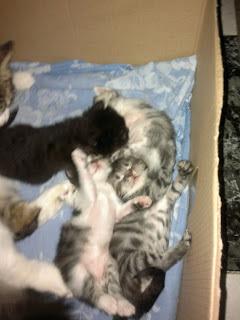 gatos-bebes-sin madre-ayuda