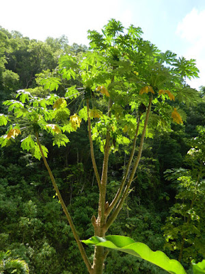 Papaya tree at Diamond Botanical Gardens Soufriere St. Lucia by garden muses-not another Toronto gardening blog