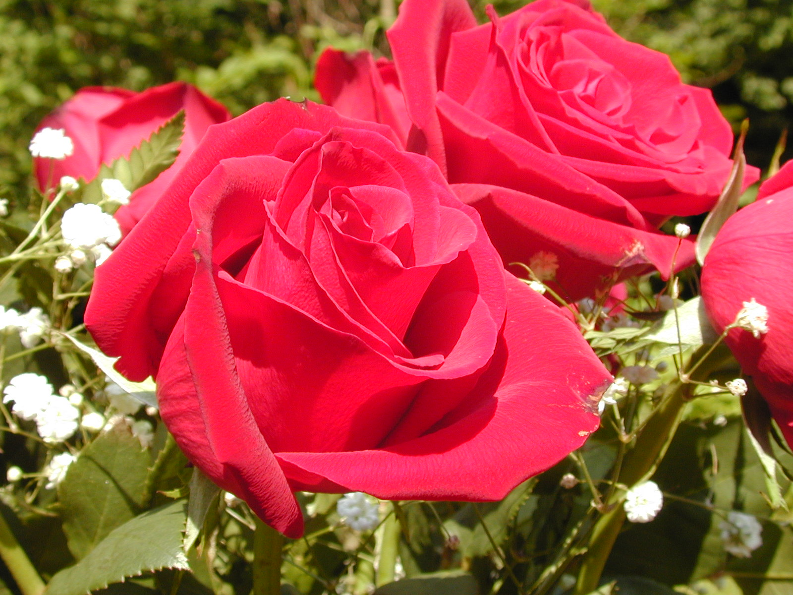 Rose flowers wallpapers real hd wallpapers - Red rose flower hd images ...