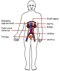 Imagen del Aparato excretor en el cuerpo humano y señalando partes