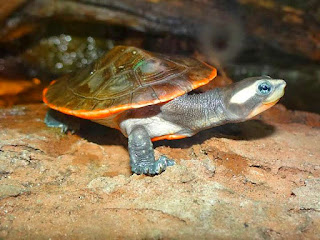 merawat-kura-kura-dada-merah.jpg