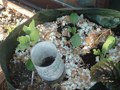 Three cauliflower seedlings growing in a container, surrounded by crushed eggshells